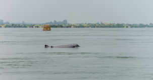 Το Μάρτιο του 2015 της Καμπότζης γλυκού νερού δελφινιών (επαρχία Kratie) Στοκ Εικόνες