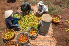 10, το Μάρτιο του 2016 DALAT - αγρότες που συγκομίζουν την ντομάτα σε Dalat- Lamdong, Βιετνάμ Στοκ Φωτογραφία