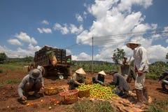 10, το Μάρτιο του 2016 DALAT - αγρότες που συγκομίζουν την ντομάτα σε Dalat- Lamdong, Βιετνάμ Στοκ φωτογραφία με δικαίωμα ελεύθερης χρήσης