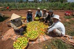 10, το Μάρτιο του 2016 DALAT - αγρότες που συγκομίζουν την ντομάτα σε Dalat- Lamdong, Βιετνάμ Στοκ Φωτογραφίες