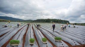 10, το Μάρτιο του 2016 DALAT - ο αγρότης που φυτεύει την ντομάτα σε Dalat- Lamdong, Βιετνάμ Στοκ Εικόνες