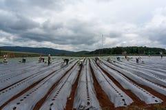 10, το Μάρτιο του 2016 DALAT - ο αγρότης που φυτεύει την ντομάτα σε Dalat- Lamdong, Βιετνάμ Στοκ Φωτογραφία