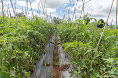 10, το Μάρτιο του 2016 DALAT - blate φως στην ντομάτα σε Dalat- Lamdong, Βιετνάμ Στοκ Φωτογραφίες