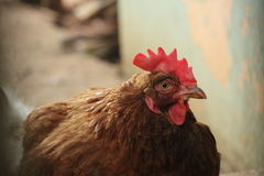 Το μάτι κοτόπουλου στοκ εικόνες