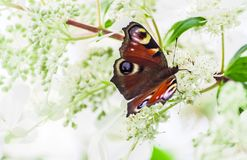 Το μάτι πεταλούδων peacock κάθεται σε έναν θάμνο hydrangea Στοκ εικόνα με δικαίωμα ελεύθερης χρήσης