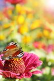 Το μάτι πεταλούδων peacock κάθεται στις καλυμμένες η Zinnia ηλιόλουστες ακτίνες Στοκ Εικόνα