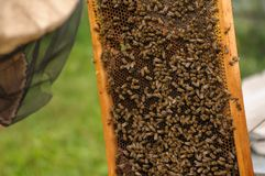 Το μέλι μελισσών ρέει κάτω από το πλαίσιο μελιού Στοκ Εικόνες
