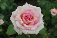 Το μέρος 2 10 Rose Garden της Peggy Rockefeller Στοκ Εικόνα