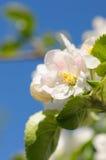 το μήλο ανθίζει δέντρο κιν&e Στοκ Εικόνα