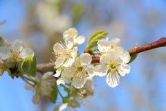 το μήλο ανθίζει το δέντρο Στοκ Φωτογραφία