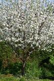 το μήλο ανθίζει δέντρο Στοκ εικόνες με δικαίωμα ελεύθερης χρήσης