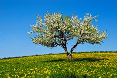 το μήλο ανθίζει δέντρο Στοκ Εικόνα