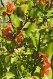 το μήλο ανθίζει την κόκκιν&eta Στοκ Εικόνες