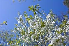 το μήλο ανθίζει το δέντρο Στοκ Εικόνα