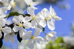 το μήλο ανθίζει το δέντρο Στοκ Εικόνες