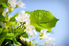 το μήλο ανθίζει το δέντρο Στοκ φωτογραφία με δικαίωμα ελεύθερης χρήσης