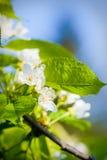 το μήλο ανθίζει το δέντρο Στοκ εικόνα με δικαίωμα ελεύθερης χρήσης