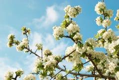 το μήλο ανθίζει το λευκό & Στοκ εικόνες με δικαίωμα ελεύθερης χρήσης