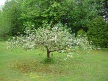 το μήλο ανθίζει το χρονικό δέντρο άνοιξη Στοκ Εικόνες