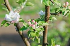 το μήλο ανθίζει δέντρο Στοκ φωτογραφία με δικαίωμα ελεύθερης χρήσης