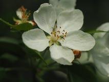 το μήλο ανθίζει λευκό Στοκ Εικόνες