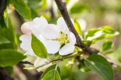 το μήλο ανθίζει λευκό Στοκ εικόνα με δικαίωμα ελεύθερης χρήσης