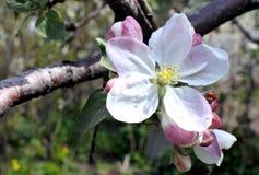 το μήλο ανθίζει κινηματο&gam Στοκ εικόνα με δικαίωμα ελεύθερης χρήσης