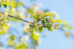 το μήλο ανθίζει κινηματο&gam Στοκ Φωτογραφία