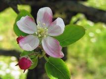 το μήλο ανθίζει ροζ Στοκ Φωτογραφία