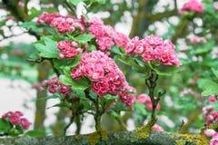 το μήλο ανθίζει ροζ Στοκ εικόνες με δικαίωμα ελεύθερης χρήσης
