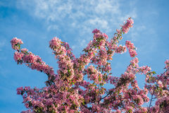 το μήλο ανθίζει το ροζ Στοκ Εικόνα