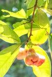 το μήλο αυξήθηκε δέντρο Στοκ φωτογραφία με δικαίωμα ελεύθερης χρήσης