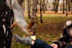 το μήλο τρώει το σκίουρο Στοκ φωτογραφίες με δικαίωμα ελεύθερης χρήσης