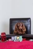 Το μίνι dachshund θέτει μπροστά από τα τσιπ πόκερ Στοκ εικόνες με δικαίωμα ελεύθερης χρήσης