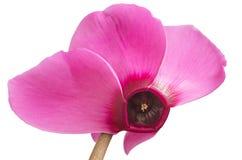 Το μακρο ροζ τα λουλούδια Cyclamen που απομονώνεται στοκ εικόνα με δικαίωμα ελεύθερης χρήσης