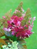 Το μακρο υπόβαθρο φωτογραφιών με τα διακοσμητικά λουλούδια φυτεύει τα hydrangeas κλάδων με θάμνους Στοκ Φωτογραφίες