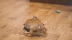Το μακρυμάλλες σκυλί chihuahua παίζει πολύ αστείο με ένα πράσινο κάστανο Σε αργή κίνηση στο σπίτι φιλμ μικρού μήκους