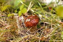 Το μανιτάρι αυξάνεται στο δάσος Στοκ εικόνα με δικαίωμα ελεύθερης χρήσης