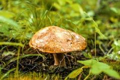 Το μανιτάρι αυξάνεται στο δάσος Στοκ εικόνες με δικαίωμα ελεύθερης χρήσης