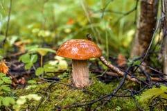 Το μανιτάρι αυξάνεται στο δάσος Στοκ φωτογραφία με δικαίωμα ελεύθερης χρήσης