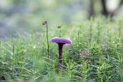 Το μανιτάρι κόκκινων λάχανων αυξάνεται μεταξύ των gaffeltandmos στο δάσος φθινοπώρου Στοκ Φωτογραφία