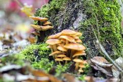 Το μανιτάρι Flammulina velutipes στον ξύλινο θάμνο στο πράσινο βρύο, συστάδα του νόστιμου χειμώνα ξεφυτρώνει Στοκ εικόνες με δικαίωμα ελεύθερης χρήσης