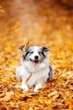 Το μαρμάρινο σκυλί κόλλεϊ συνόρων εναπόκειται στα φύλλα το φθινόπωρο στοκ φωτογραφία