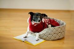 Το μαύρος-άσπρο σκυλί και σε έναν τάρανδο το κοστούμι έβαλε τα πόδια στο ανοικτό βιβλίο Στοκ εικόνες με δικαίωμα ελεύθερης χρήσης