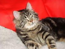 Το μαύρος-γκρίζο τιγρέ γατάκι βρίσκεται σε έναν κόκκινο καναπέ Στοκ Φωτογραφίες