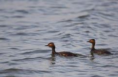 Ζευγάρι μαύρος-necked Grebe Στοκ Φωτογραφίες