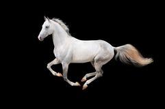 το μαύρο άλογο απομόνωσε το λευκό Στοκ Φωτογραφίες