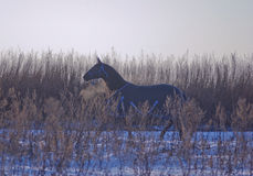Το μαύρο άλογο σε ένα άλογο-ύφασμα walknig στο μαύρο άλογο σε ένα άλογο-ύφασμα περνά από το χιονώδη τομέα Στοκ εικόνες με δικαίωμα ελεύθερης χρήσης