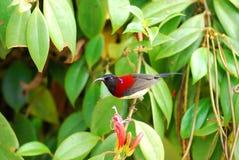 το μαύρο αρσενικό sunbird στοκ φωτογραφία με δικαίωμα ελεύθερης χρήσης