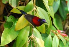 το μαύρο αρσενικό sunbird στοκ φωτογραφίες με δικαίωμα ελεύθερης χρήσης